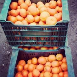 Mandarin harvest._