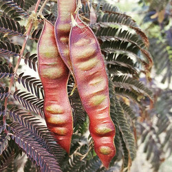 Seeds on our #acacia #summer #chocolate tree 😍_._