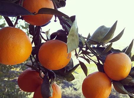 Why are oranges orange?