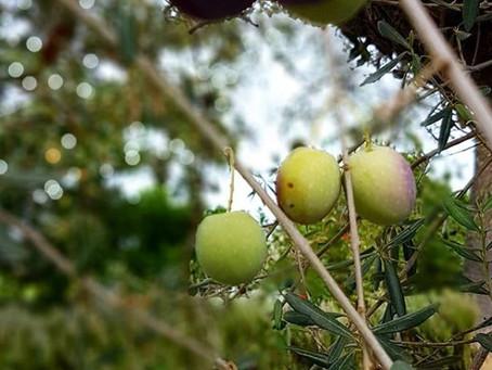 Olive Oil Harvest - Part 1