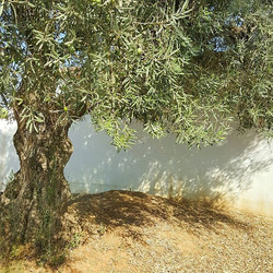 The elegance and beauty of olive trees 💚🌳_