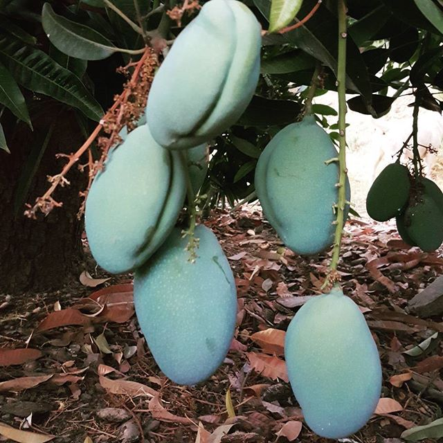 I ❤ our #mangoes !_