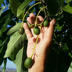 Baby #avocados on the tree._