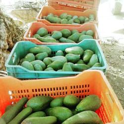 Fuerte avocado harvest._