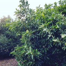 Hass avocado tree on our plantation._
