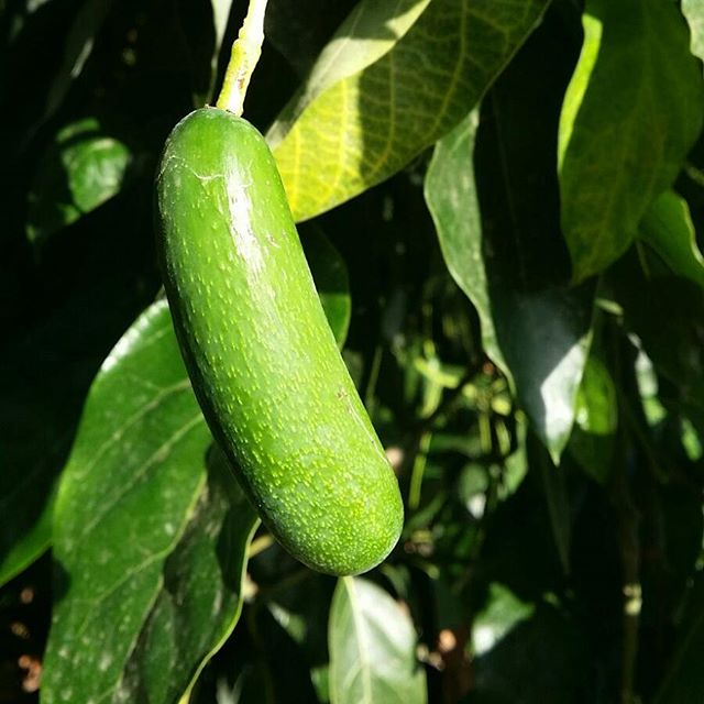 Cute #cocktailavocado on the #fuerteavocado tree - one of #naturesmiracles that you get to eat whole