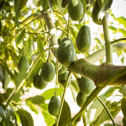 In ancient #Aztec #culture, the #avocado symbolized #love and #fertility because the avocado #tree c