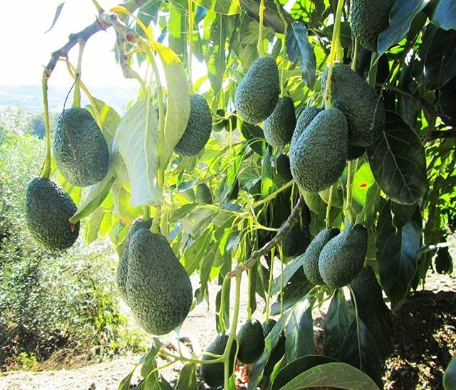 Did you know that the #avocado #tree is originally from central and south America_ 🌎_And that #bota