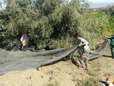 The olive harvest has begun!