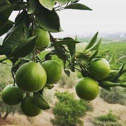 Green oranges that will change colour once temperatures drop 🌡🍊_._