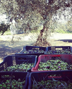 The end of the year is a #harvesting fest ! There's the #olives and bacon #avocados that need pickin