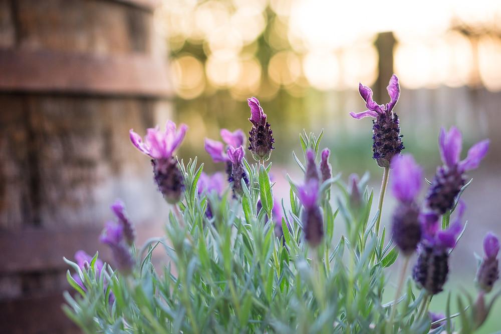 Lavendel Ätherische Öle
