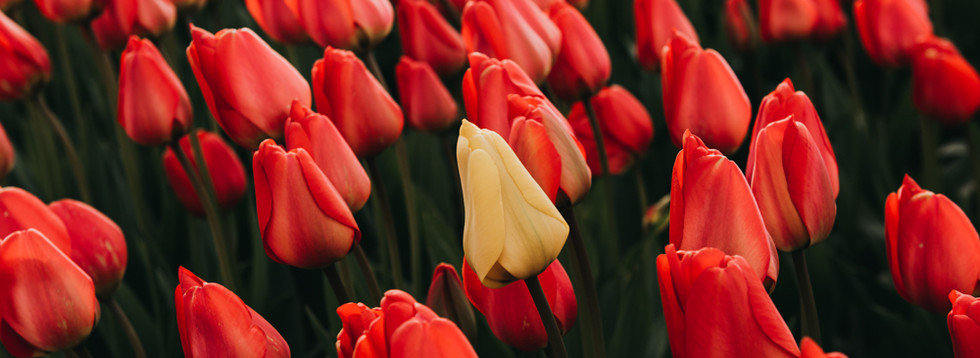 Photo 06 - Tulip