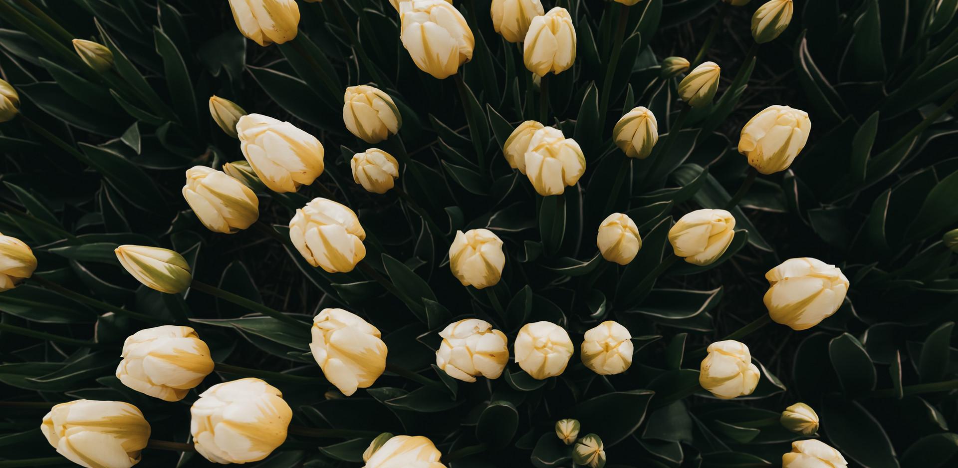 Photo 05 - Tulip
