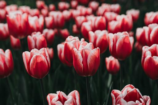 Photo 04 - Tulip