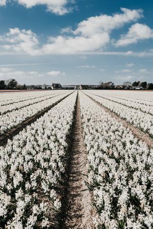Photo 12 - Hyacinths