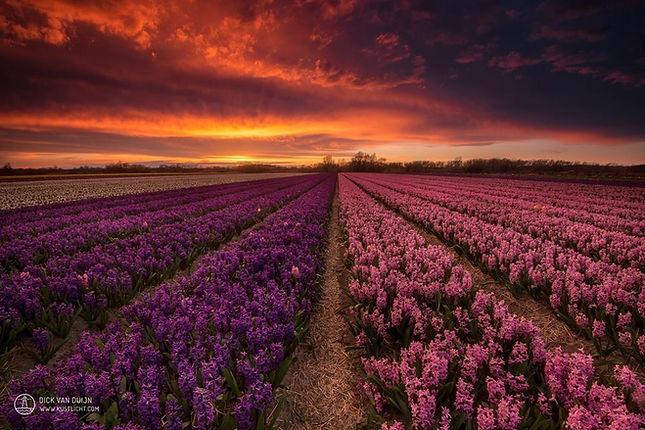 Hyacinthen van Dick van Duijn