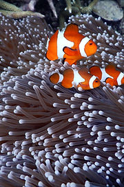 Dive Sibaltan Clownfish