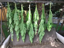 Verbascum thapsus - Common Mullein