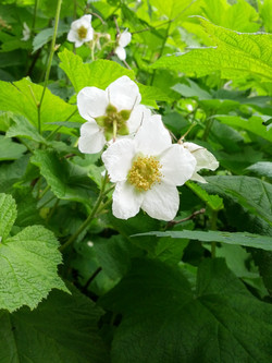 Thimble Berry Flower