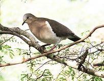 Grenada-Dove-300x232.jpg