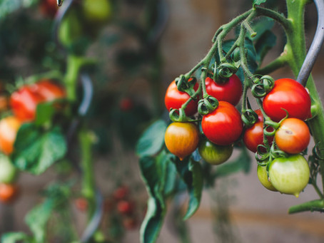 Our guide to growing your best tomatoes