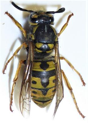 Allergie gegen Bienen- und Wespengift