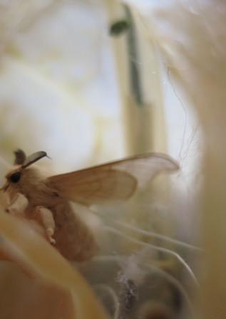 Papillon de bombyx mori