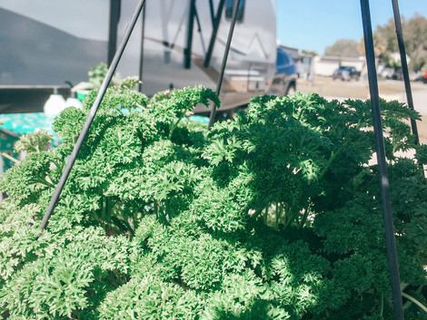 Growing Parsley in Your RV or Home Garden