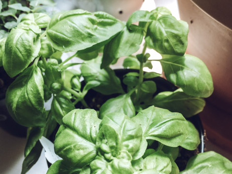 My Cottage Herbs:  Growing Basil