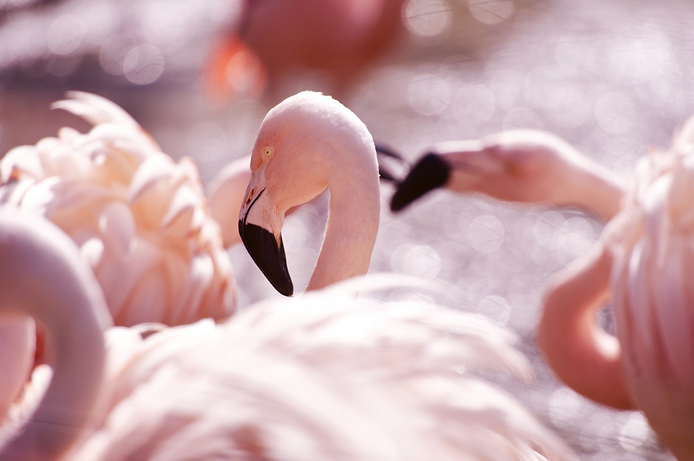 A picture of pink flamingoes