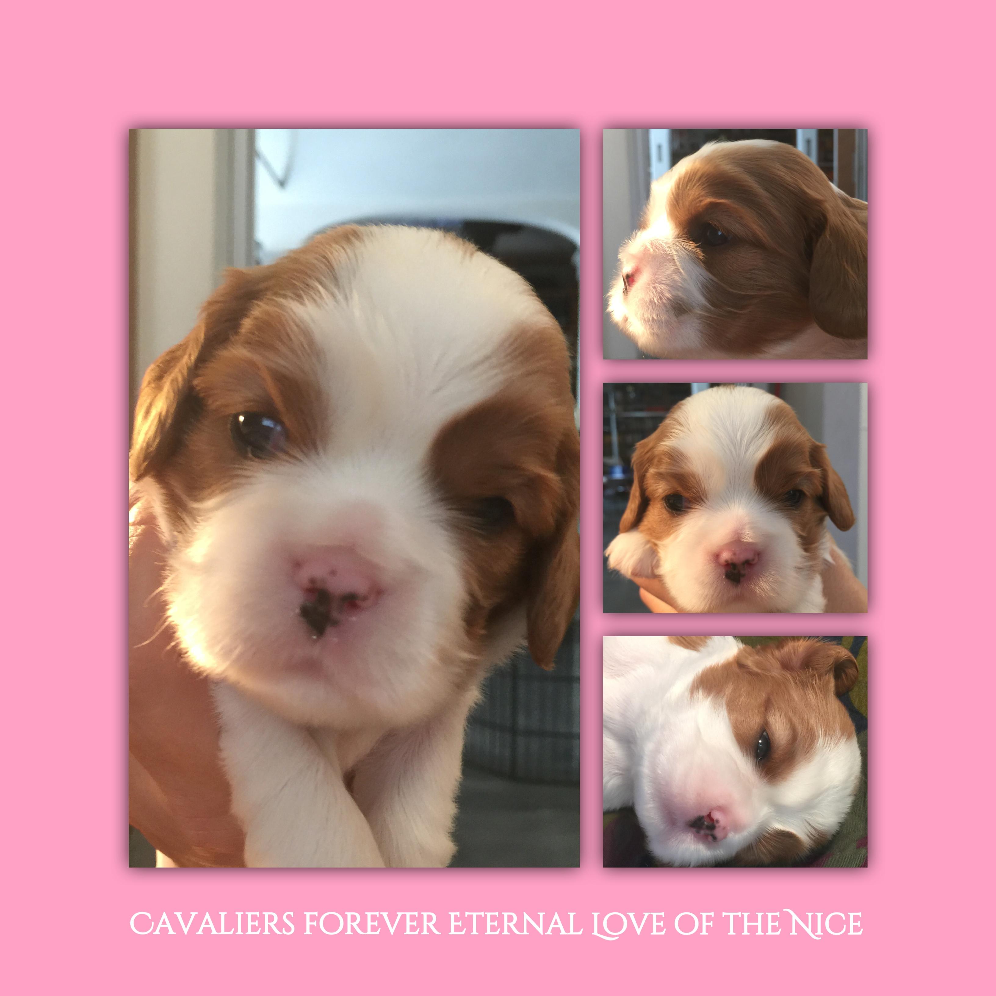 cucciola di Cavalier - due settimane