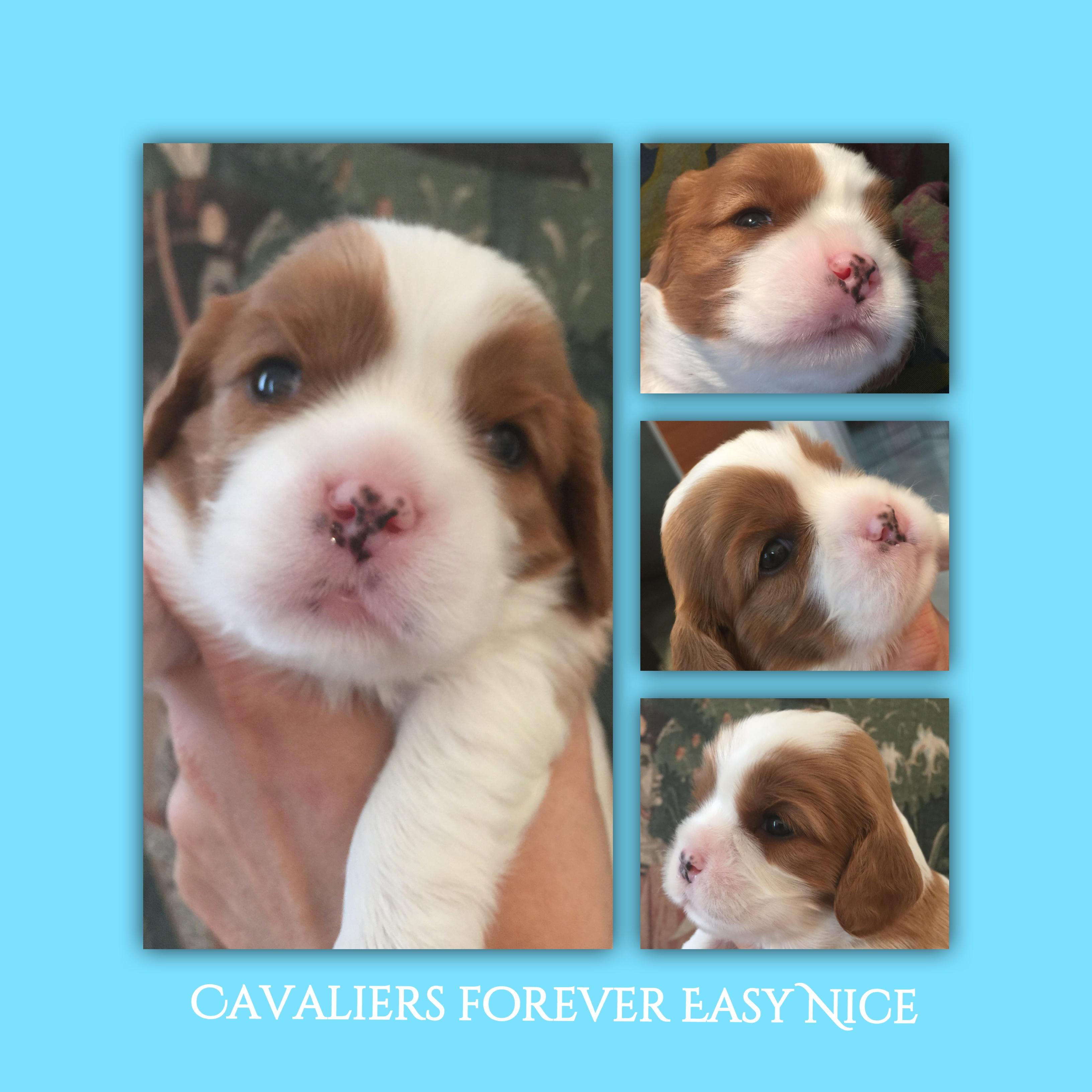 cucciolo di Cavalier - due settimane