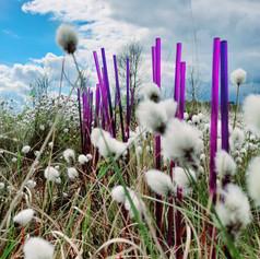 Purple Moor Grass