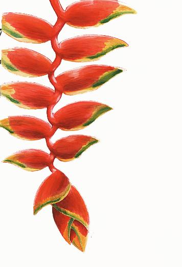 Balisier rouge, aquarelle