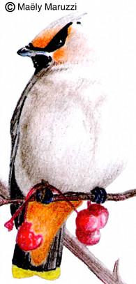 Jaseur boréal, Bombycilla garrulus