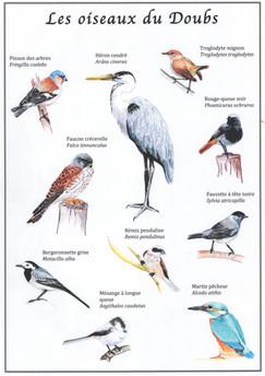Illustrations : les oiseaux du Doubs