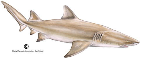 Requin citron, Negaprion brevirostris