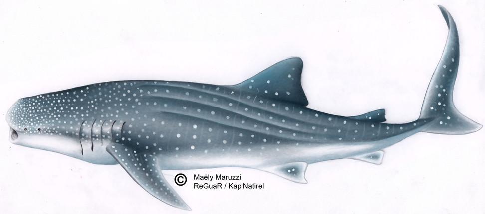 Exemple : le requin baleine