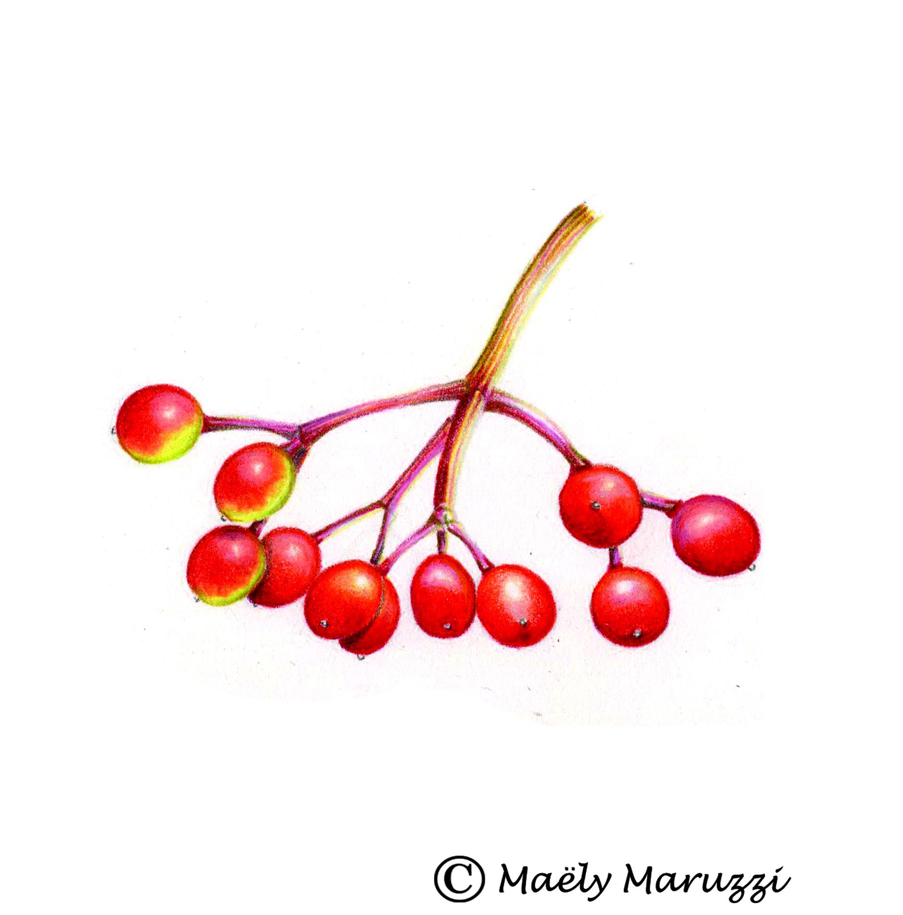 Viorne obier, Viburnum opulus