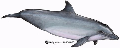 Grand dauphin, Tursiop truncatus