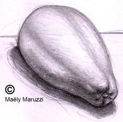 Papaye, croquis crayon