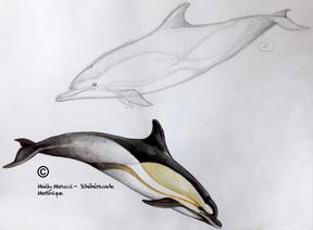 Dauphin commun, Delphinus delphis