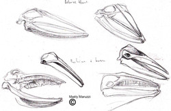 Crânes de balenoptéridés