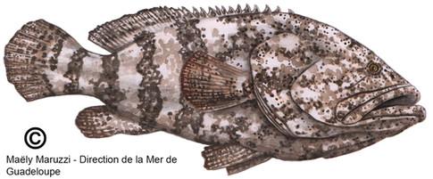 Mérou goliath, Epinephelus itajara