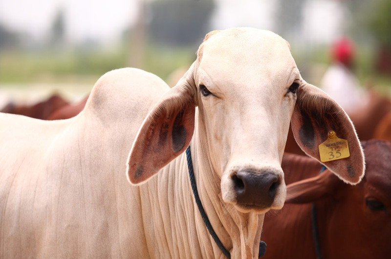 indian cow.jpg