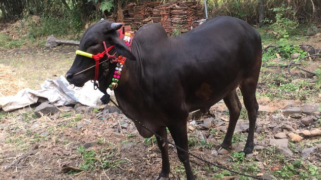 cow image 2.jpeg