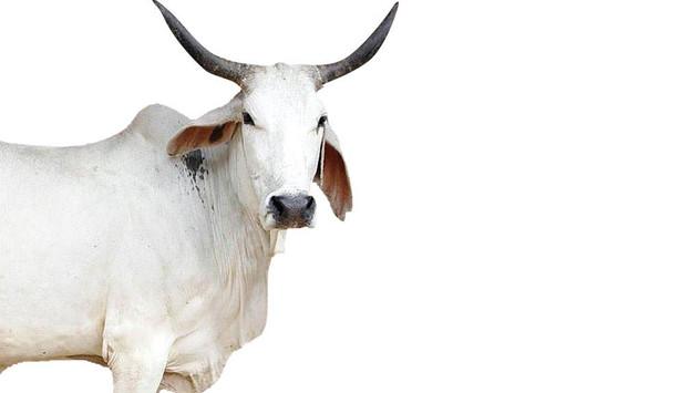 Indian breed.jpg