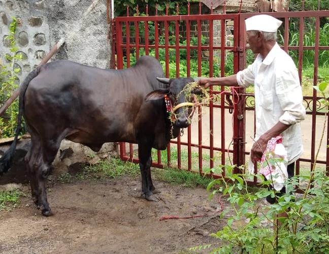 Cow Image 3.jpeg