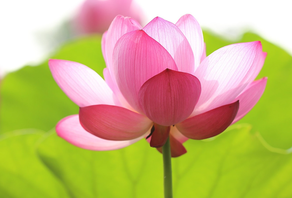 lotus, pink, image by Free-Photos, on Pixabay
